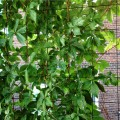 Grid wire as a trellis:  strong enough to support a climbing vine, powder coated for beauty and protection from the elements.